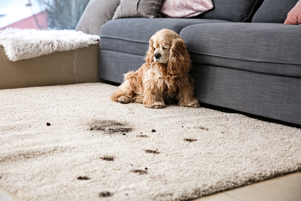 cachorro sujou tapete franquias de limpeza