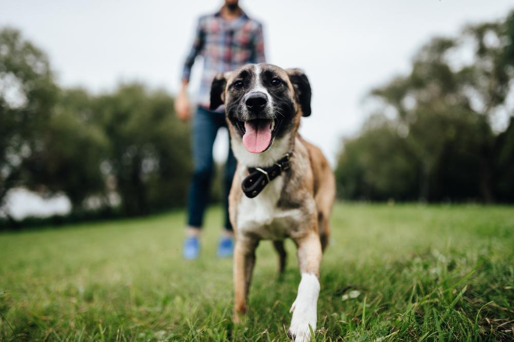 Cachorro andando na grama com seu dono ao fundo e desfocado